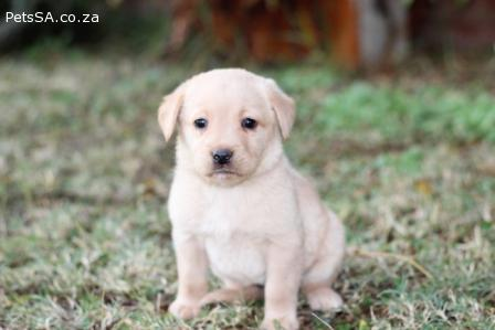Labrador Retriever puppies for sale in Gauteng