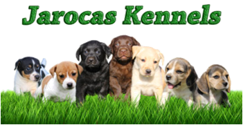 Jarocas Kennels - breeders of Labrador puppies, Tricolour Beagle puppies and dogs in South Africa