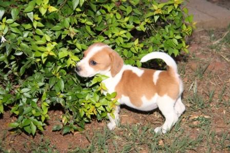 Beagle X Jack Russel Jackabee Puppies For Sale
