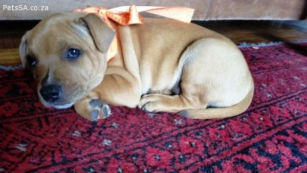 STAFFORDSHIRE BULL TERRIER (Staffie) PUPPIES FOR SALEKUSA registered ...