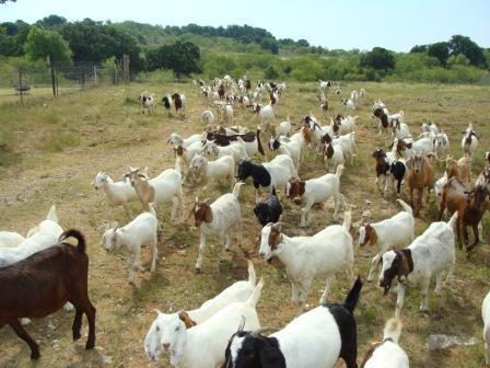 mclaren livestock
