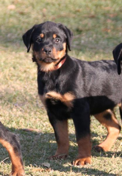 Icehaven Rottweilers