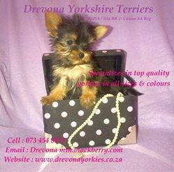 Drevona Yorkshire Terrier Breeders