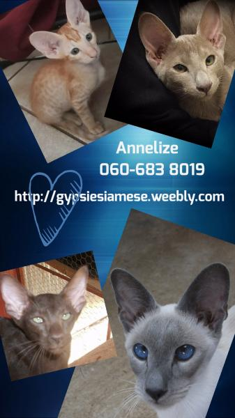 Gypsy Siamese Cattery