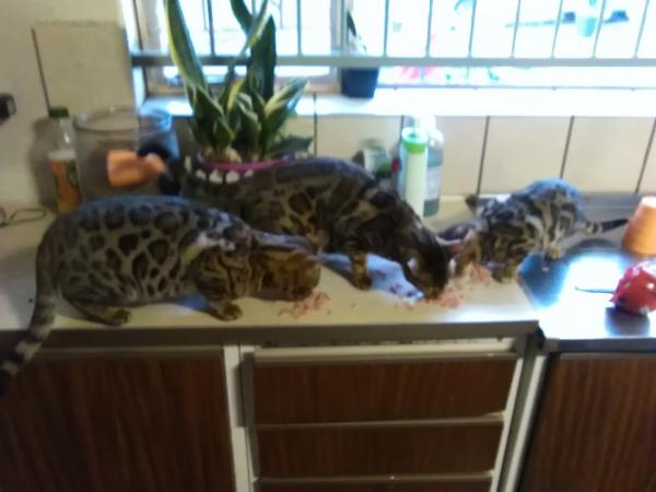Belsu Bengal cat Cattery